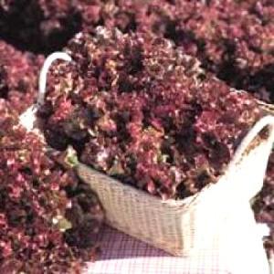 野菜の種/種子 サマールージュ・リーフレタス 5000粒(大袋)タキイ種苗|vg-harada