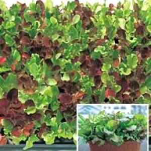 野菜の種/種子 ガーデンベビー・リーフレタスミックス 2ml(メール便可能)タキイ種苗|vg-harada