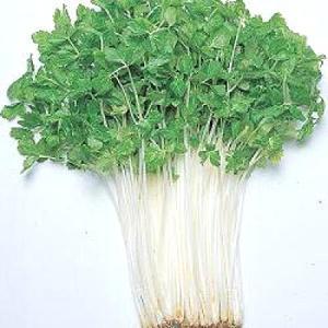 野菜の種/種子 ミニホワイト・セルリー セロリ セロリー 1.8ml (メール便可能)タキイ種苗|vg-harada
