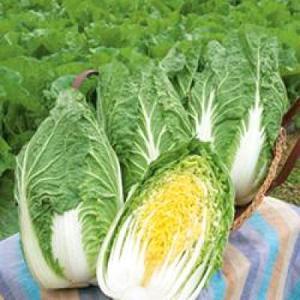 野菜の種/種子 CRお黄にいり・ハクサイ・白菜 5000粒(大袋)タキイ種苗|vg-harada