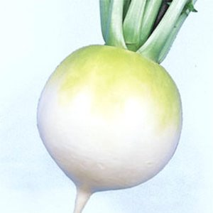 野菜の種/種子 早太り聖護院・だいこん ダイコン 2dl(大袋)タキイ種苗|vg-harada