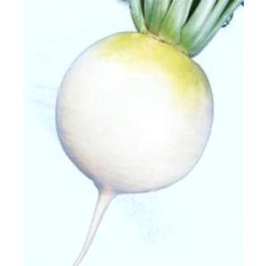 野菜の種/種子 冬どり聖護院・だいこん ダイコン 2dl(大袋)タキイ種苗|vg-harada