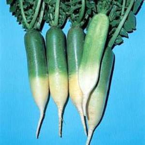 野菜の種/種子 青長大根(長江青長)・だいこん ダイコン 1dl(メール便可能)タキイ種苗|vg-harada