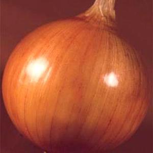 野菜の種/種子 ターボ・タマネギ 20ml(メール便可能)タキイ種苗|vg-harada