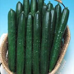 野菜の種/種子 夏ばやし・きゅうり キュウリ 350粒(メール便発送/大袋)タキイ種苗|vg-harada