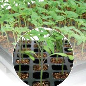 野菜の種/種子 グリーンフォース・トマト 1000粒(メール便可能/大袋)タキイ種苗|vg-harada