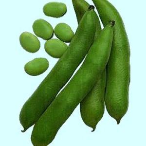 野菜の種/種子 早生そらまめ(ミンポー) 1L(大袋)タキイ種苗|vg-harada