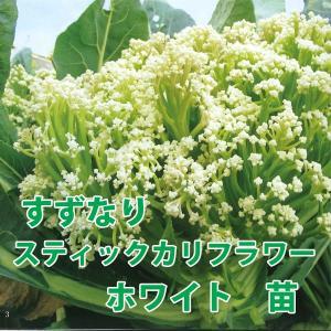 野菜の苗 すずなりスティックカリフラワー ホワイト 苗 4ポット入りセット/9cmポット|vg-harada