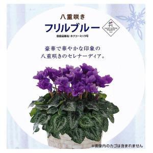 数量限定!送料無料 花の苗 セレナーディア フリルブルー 5号花鉢/1ポット サントリー|vg-harada