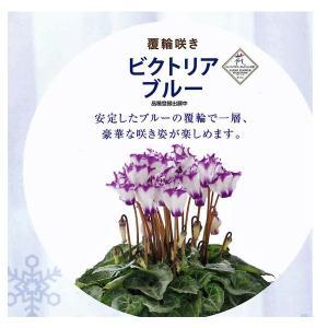 数量限定!送料無料 花の苗 鉢花 セレナーディア ビクトリアブルー 5号花鉢/1ポット サントリー|vg-harada