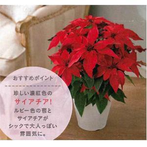数量限定!送料無料 花の苗 鉢花 プリンセチア ルビーアイ 5号鉢/1ポット 花苗|vg-harada