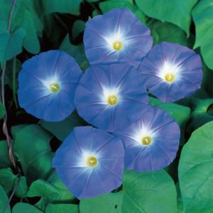 花の種(営利用)アサガオ 朝顔 ヘブンリーブルー 1000粒 プライマックス種子 サカタのタネ|vg-harada