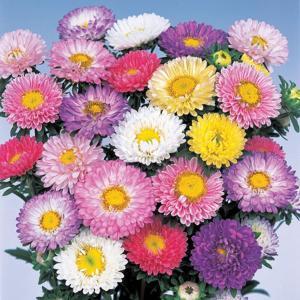 花の種(営利用)アスター エゾギク 松本 パステル ミックス 20ml サカタのタネ|vg-harada