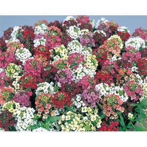 花の種(営利用)スイートアリッサム ニワナズナ イースターボネット ミックス 2ml サカタのタネ 種苗(メール便発送)|vg-harada