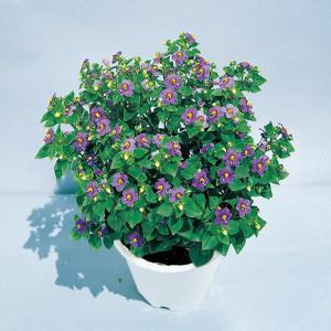 花の種(営利用)エキザカム ドワーフミゼット ブルー 0.2ml サカタのタネ vg-harada