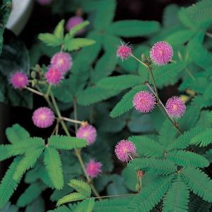 花の種(営利用)オジギソウ ミモザ早生種 20ml サカタのタネ|vg-harada