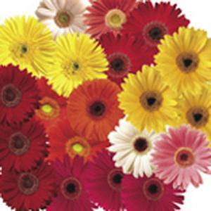 花の種(営利用)ガーベラ フェスティバル グロワーズセレクトミックス12 100粒 コート種子 サカタのタネ vg-harada