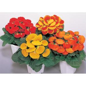 花の種(営利用)カルセオラリア キンチャクソウ デインティー ミックス 1000粒 ペレット種子 サカタのタネ vg-harada