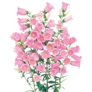 花の種(営利用)カンパニュラ ツリガネソウ・フウリンソウ メイ ピンク 1ml サカタのタネ 種苗(メール便発送)|vg-harada