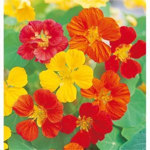 花の種(営利用)キンレンカ ナスタチウム(ナスタチューム) ホワリーバード 混合 1dl サカタのタネ vg-harada
