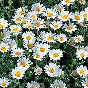 花の種(営利用)クリサンセマム ノースポール 10ml サカタのタネ 種苗(メール便発送)|vg-harada