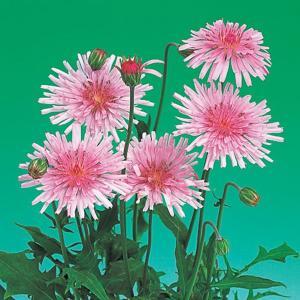 花の種(営利用)クレピス クレピス ピンク 10ml サカタのタネ|vg-harada