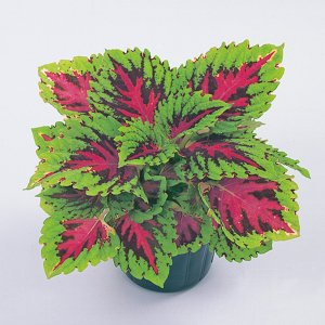 花の種(営利用)コリウス キンランジソ ゴリラ(R) Jr.ウォーターメロン 500粒 ペレット種子 サカタのタネ 種苗|vg-harada