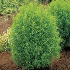花の種(営利用)コキア ホウキグサ ほうきぐさ ほうき草 グリーン 20ml サカタのタネ|vg-harada