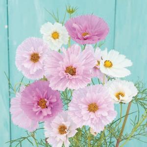 花の種(営利用)コスモス カップケーキ ミックス 1000粒 サカタのタネ|vg-harada