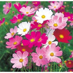 花の種(営利用)コスモス 美色混合 1l サカタのタネ|vg-harada