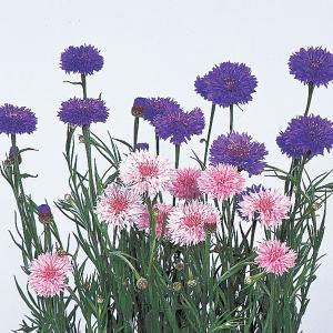 花の種(営利用)セントーレア ヤグルマソウ、ヤグルマギク 寒咲特選混合 20ml サカタのタネ|vg-harada