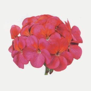 花の種(営利用)ゼラニウム トレジャー バイオレット 250粒 コート種子 サカタのタネ(メール便可能)