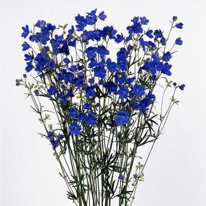 花の種(営利用)デルフィニウム ヒエンソウ プデル ブルー 1000粒 サカタのタネ|vg-harada