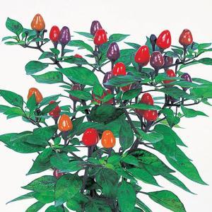 花の種(営利用)観賞用トウガラシ 夜祭り 1000粒 サカタのタネ|vg-harada