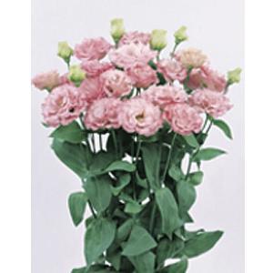 花の種(営利用)トルコギキョウ ユーストマ、リシアンサス レイナ(2型)ピンク 3000粒 プライマックスペレット種子 サカタのタネ|vg-harada