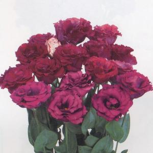 花の種(営利用)トルコギキョウ ユーストマ、リシアンサス カルメン カシス 3000粒 プライマックスペレット種子 サカタのタネ|vg-harada