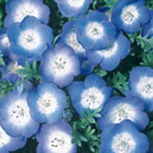 花の種(営利用)ネモフィラ インシグニス ブルー 10ml サカタのタネ|vg-harada