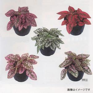 花の種(営利用)ヒポエステス ソバカスソウ コンフェッティ コンパクト ミックス 1000粒 サカタのタネ vg-harada