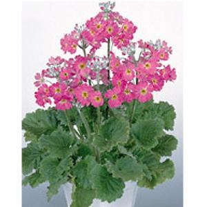 花の種(営利用)プリムラ マラコイデス うぐいす ローズ 1ml サカタのタネ 種苗(メール便発送)