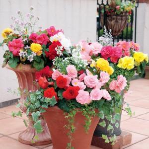 花の種(営利用)ベゴニア フォーチュン ミックス 1000粒 ペレット種子 サカタのタネ|vg-harada
