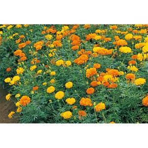 花の種(営利用)マリーゴールド アフリカントール 1l サカタのタネ|vg-harada