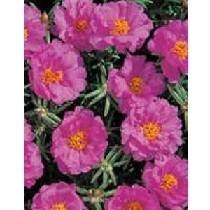 花の種(営利用)マツバボタン ポーチュラカ ソーラーキッズ ピンク 1ml サカタのタネ|vg-harada