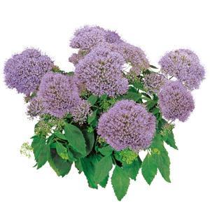 わい性で基部分枝に優れ、ポット苗や鉢物出荷に向きます。長日開花性です。  ※本商品はメール便をご利用...