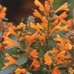 花の種(営利用)アガスターシャ アリゾナ サンドストーン 1000粒 タキイ種苗|vg-harada