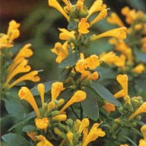 花の種(営利用)アガスターシャ アリゾナ サン 1000粒 タキイ種苗|vg-harada