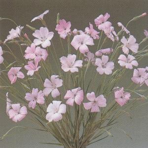 花の種(営利用)アグロステンマ 桜貝 10ml タキイ種苗|vg-harada