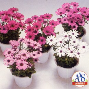 花の種(営利用)オステオスペルマム パッション ミックス 10ml タキイ種苗|vg-harada