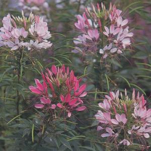花の種(営利用)クレオメ カラー ファウンティン 1dl タキイ種苗|vg-harada