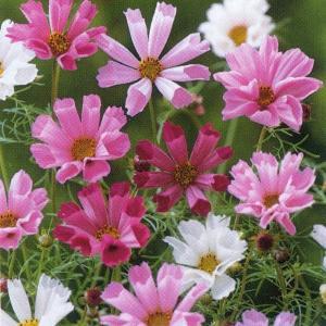 花の種(営利用) コスモス 高性種 シーシェル 混合 20ml タキイ種苗|vg-harada