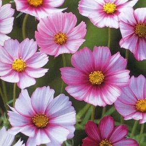 花の種(営利用) コスモス 高性種 ピコティ 20ml タキイ種苗|vg-harada